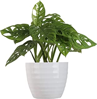 Costa Farms Little Swiss Monstera Trending Tropicals Collection Live Indoor Plant, 12 Inches Tall, Ships in White Ceramic