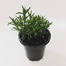 LIVE Rosemary Herb Plant - Organic NON-GMO - 2 (TWO) Plants Fit 3.5