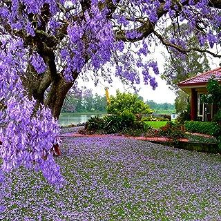 Move on Flower Seeds 100Pcs Jacaranda Mimosifolia Royal Empress Tree Flower Seeds Garden Plant Decor
