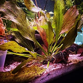 Mainam Red Flame Amazon Sword Easy Tropical Live Aquarium Plants Decorations 3 Days Live Guaranteed