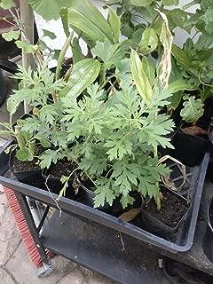 9EzTropical - Artemisia vulgaris - Mugwort - Ng?i c?u - 1 Plant - 4