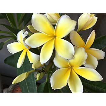 Yellow Plumeria Cuttings 2 Pack #LL46 by Discount Hawaiian Gifts