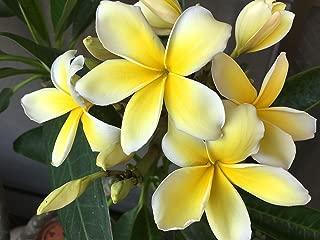 Best yellow frangipani tree Reviews