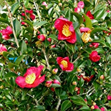 Plants by Mail 2.5 Qt 'Yuletide' Camellia, Christmas Red Blooming Shrub (12-15 inches Tall)