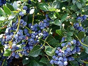 Top Hat Dwarf Blueberry Plant - Bonsai/Patio/Outdoors - 2.5