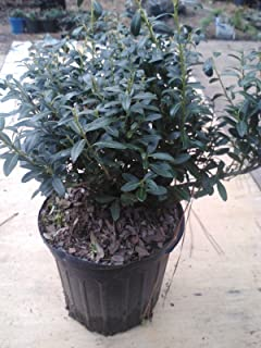 compact holly hedge
