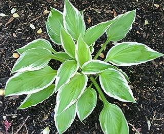 purple leaf hosta