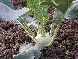 Kohlrabi White Vienna Heirloom for Microgreen or Garden binC135 (300 Seeds, or 1 Gram)