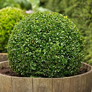 Verazui Boxwood, Buxus sempervirens, 200 Seeds, (Hardy Evergreen, Topiary, Hedge, Bonsai)