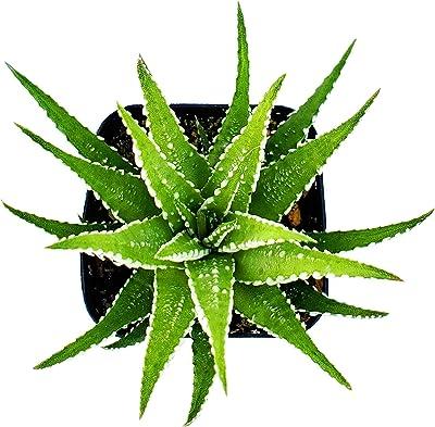 Aloe Aristata succulent cactus live plant BUY 2 GET 1 FREE.
