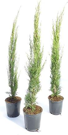 MittelmeerzypresseTotem 80 100 Cm Saulen Toskana Zypresse Cupressus Sempervirens
