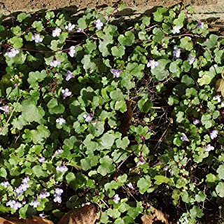 flowering ivy ground cover