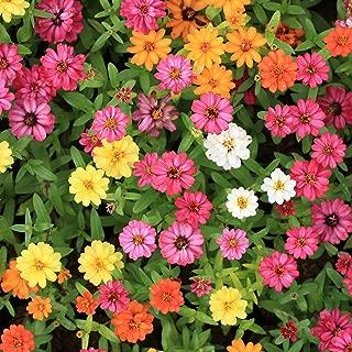 Best zinnia angustifolia seeds Reviews