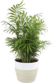 Costa Farms Neanthe Bella Parlor Palm, Live Indoor Plant, 14 to 16-Inches Tall, Ships in White-Natural Lightweight Décor planter, Fresh From Our Farm, Excellent Gift or Home Décor