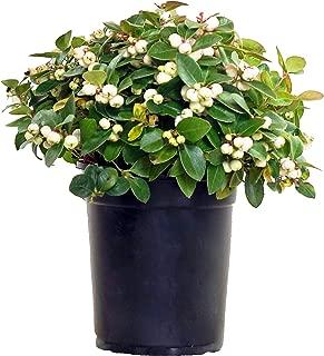 peppermint pearl wintergreen plant