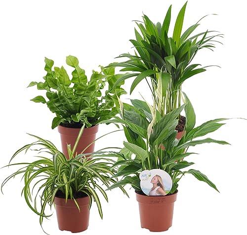 Mix 4 plantes purificatrices d'air | Areca, Chlorophytum, Asplenium, Spathiphyllum | Plantes d'interieur tropicales |...
