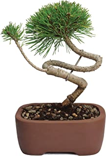 Brussel's Live Mugo Pine Outdoor Bonsai Tree - 5 Years Old; 4