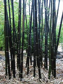 Más vendidos! Raras púrpura Semillas Timor bambú Bambusa semillas de bambú negro patio plantado Yi 100 PCS / bag, # QM1EE7