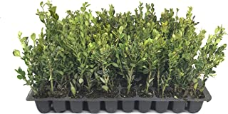 Winter Gem Boxwood - 3 Live Plants - 2
