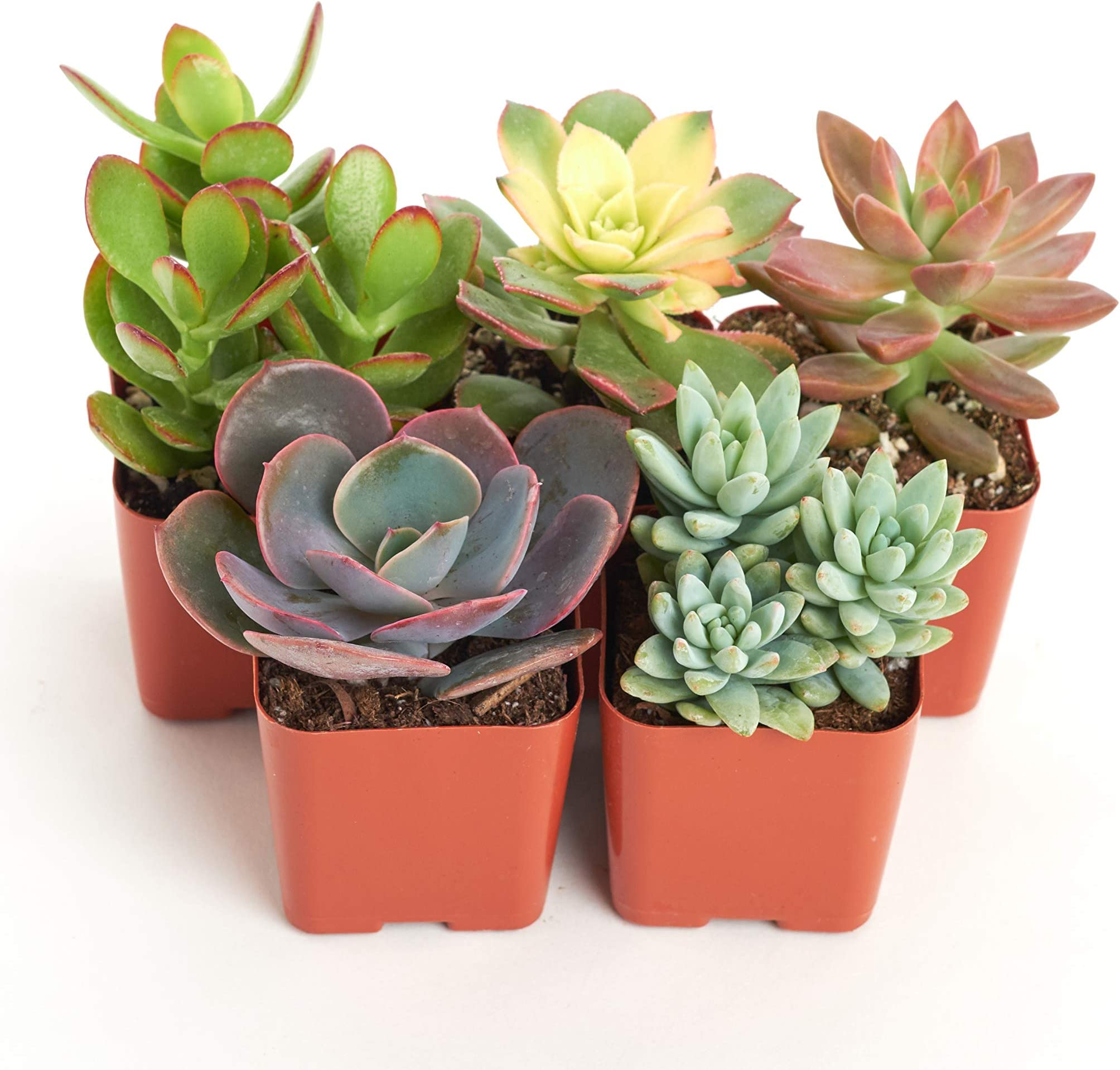 Premium Quality 24 Assorted 2.5 rooted succulents plants