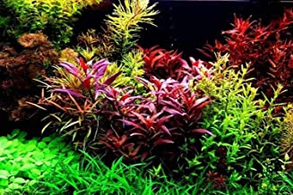 Aquarium Grass Plants Seeds,Aquatic Coleus Blumei Carpet Water Grass,Oxygenating Weed Live Pond Plant Seeds,Fish Aquatic Water Grass Decor,Easy to Plant Grow Maintain,CYC-10G