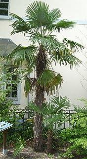 【観葉植物/種子】Trachycarpus Fortunei★Chinesische Hanfpalme◆ワジュロ/シュロ(棕櫚)◆耐寒性ヤシ◎5粒♪ [並行輸入品]