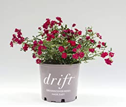 Star Roses Red Drift Groundcover Rose - Rose Drift Red - 19cm