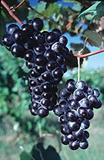 Concord Seedless Grape Vine: Fruiting Age