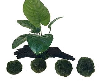 manplan Mini tronco de Anubias de 10 a 12cm y 4 Cladophoras de 3 a 4cm