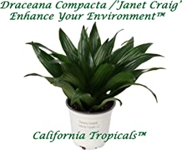 Draceana Compacta ('Janet Craig') - 4'' from California Tropicals
