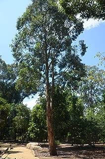 eucalyptus saligna sydney blue gum
