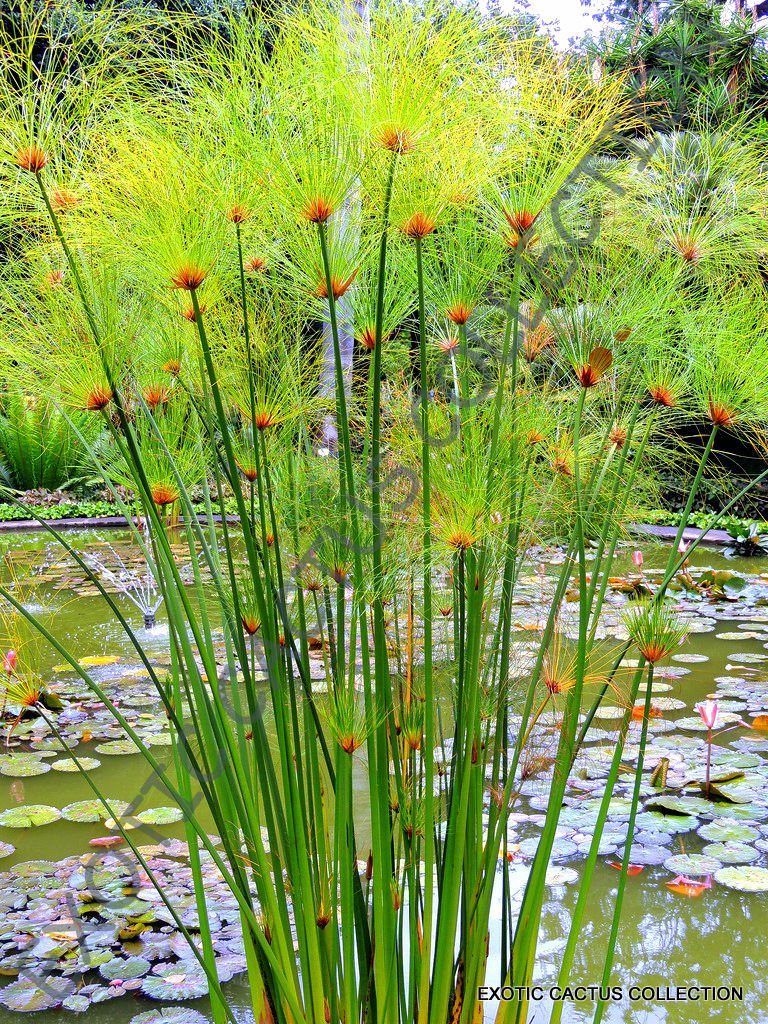 CYPERUS PAPYRUS @@ paper reed flatsedge exotic aquatic flowering plant 100 seeds- Buy Online in Qatar at Desertcart - 139577838.