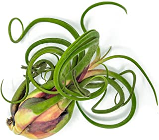 1 Giant Tillandsia Caput Medusae Air Plant - 6 to 8 inch - Live House Plants for Sale - Indoor Terrarium Air Plant