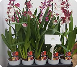 Scented Orchid 'Cambria' House Plant