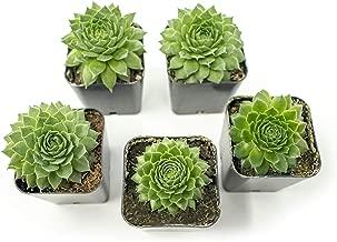 Fractal Succulents(5 Pack) Live Sempervivum Houseleek SucculentRooted in Pots   Flowering Plant Leaves /Geometric Rosettes by Plants for Pets
