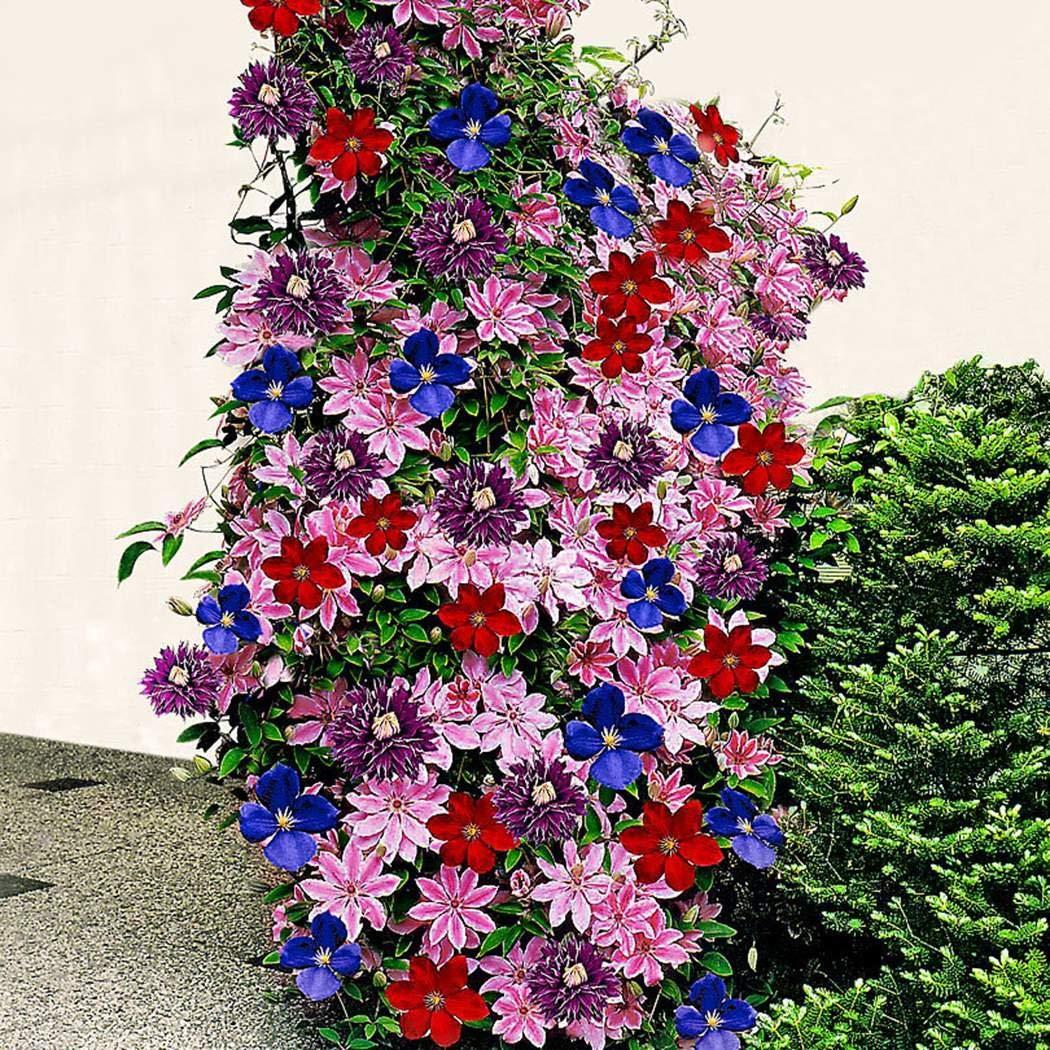 MURIEO jardín- Plantas trepadoras Clematis de 50 piezas, semillas de flores, flores perennes resistentes, efectos de paisaje para terrazas, cercas, jardín: Amazon.es: Jardín