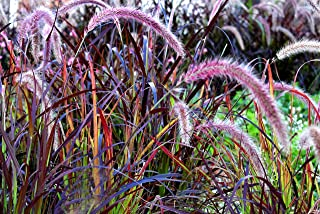 Chinese Fountain Ornamental Grass Seed - 100 Seeds Pennisetum alopecuroides