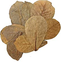 Tantora Premium Grade Catappa Indian Almond Leaves Size Medium 50 Leaves 5-7 Inches