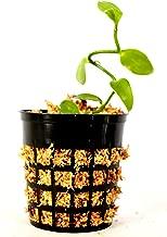 9GreenBox - Vanilla Orchid - 3'' Pot