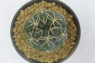 サボテン ギムノカリキウム 海王丸 3号鉢 ②
