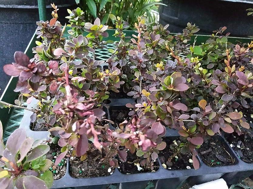 集団千カブ- ROSY GLOW - 2つの植物 - 2