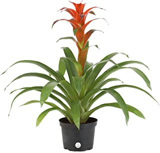 Costa Farms Live Bromeliad Indoor Tabletop Plant in 6-Inch Grower's Pot, Grower's Choice - Red, Pink, Orange, Yellow