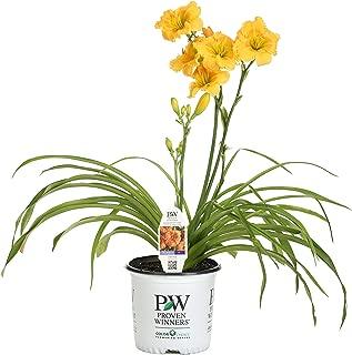 Rainbow Rhythm Orange Smoothie Daylily (Hemerocallis) Live Plant, Light Orange Flowers, 1 Gallon