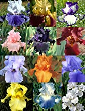 Reblooming Iris Collection 30 Bulbs Mix Colors
