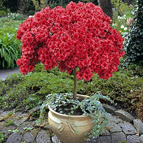 Small Evergreen Shrubs For Pots: Evergreen Patio Plants: Amazon.co.uk