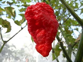 Jigsaw Hot Pepper 10+ Seeds