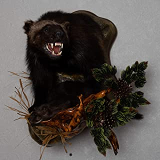 Wolverine with Mink Taxidermy Head Shoulder Mount - Mounted, Stuffed Animals for Sale - Real, Decor, Wall Mount, Cape - ST5073