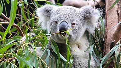 Koalas and Kangaroos. Get to know Australia's cuddliest critters!