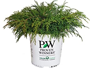 Proven Winners - Microbiota decussata Celtic Pride (Russian Cypress) Evergreen, , #2 - Size Container