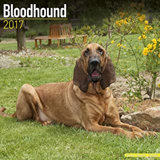 Bloodhound Calendar 2017 - Dog Breed Calendars - 2016 - 2017 wall calendars - 16 Month by Avonside